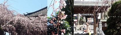 玉蔵院 桜.jpg